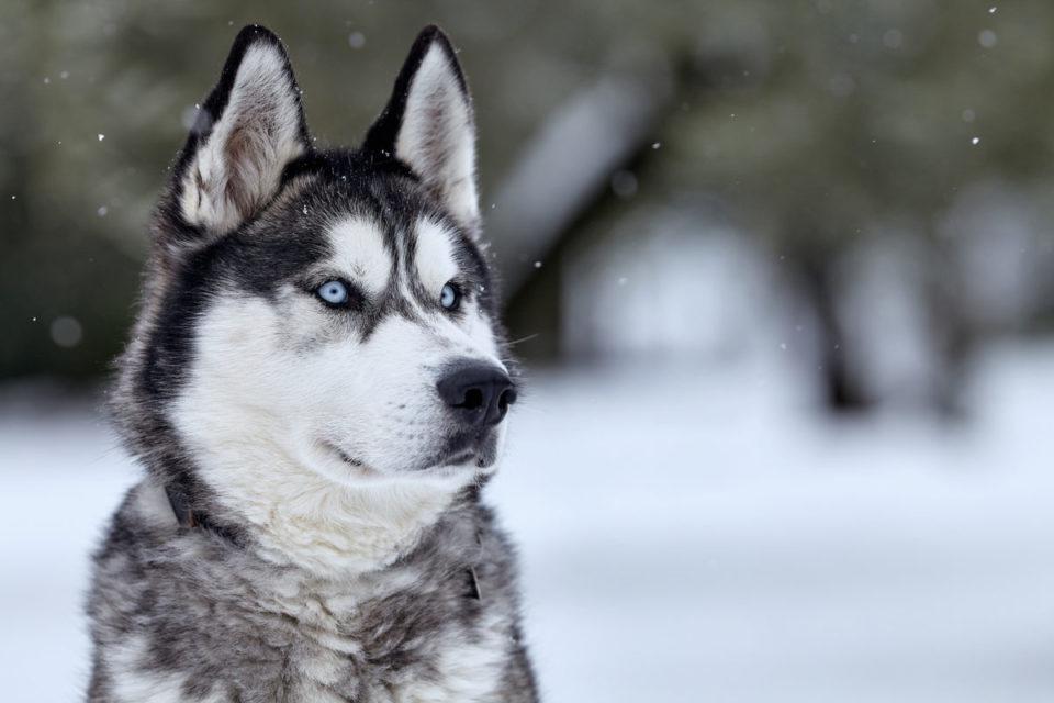 Husky siberiano: carácter, salud, cría y precio