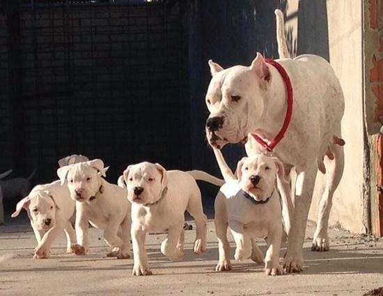 Dogo-argentino-cachorros