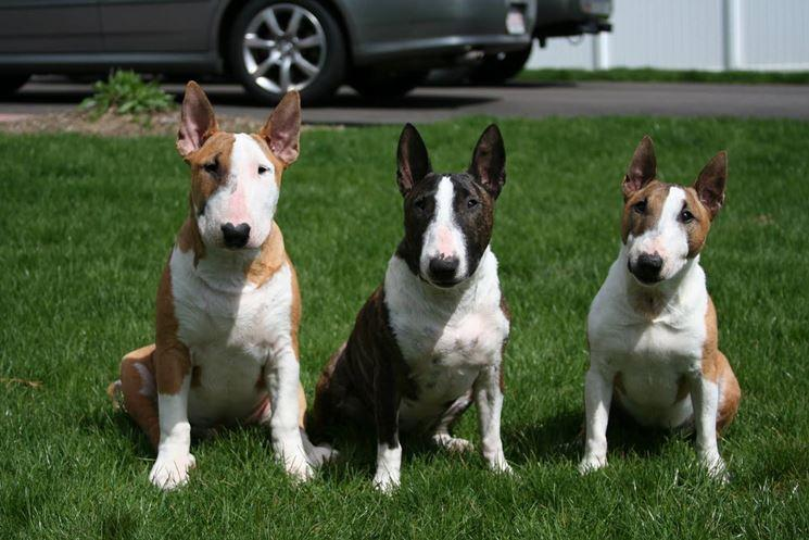 Bull terrier colores