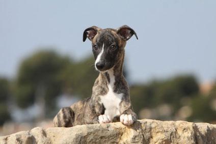 galgo español cachorro