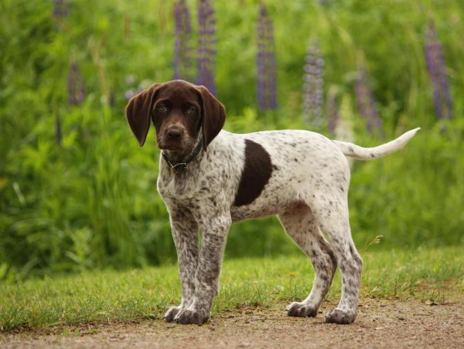 Braco alemán cachorro