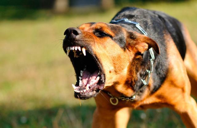 ¡Perra violencia! Hasta los perros aumentan sus ataques en Guanajuato 1
